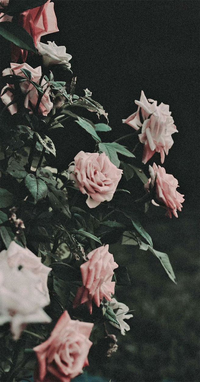 Blush pink rose iPhone wallpaper