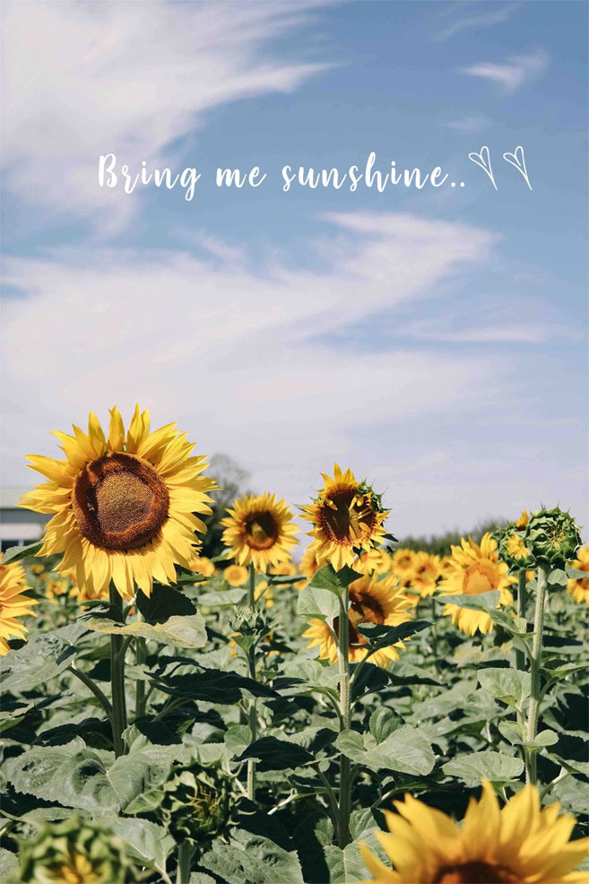 "Blue sky & Sunflower field ""Bring me sunshine"" iPhone wallpaper"