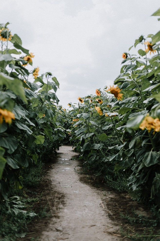 Beautiful Sunflower field iPhone wallpaper