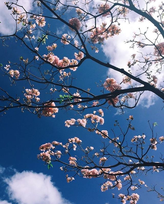 Cherry blossom iPhone wallpaper