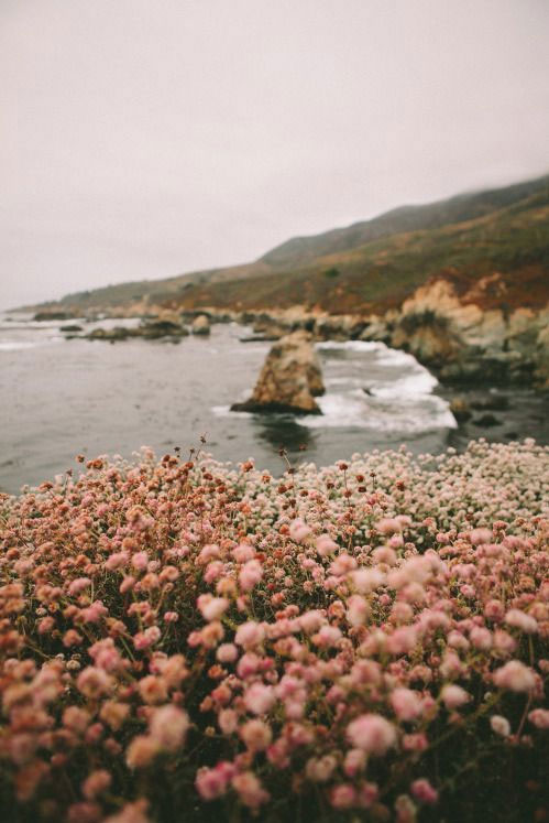 Beautiful filed of pink flowers and ocean backdrop