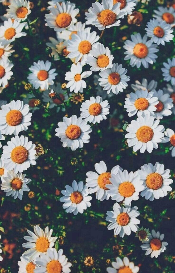 Beautiful Daisies iPhone wallpaper