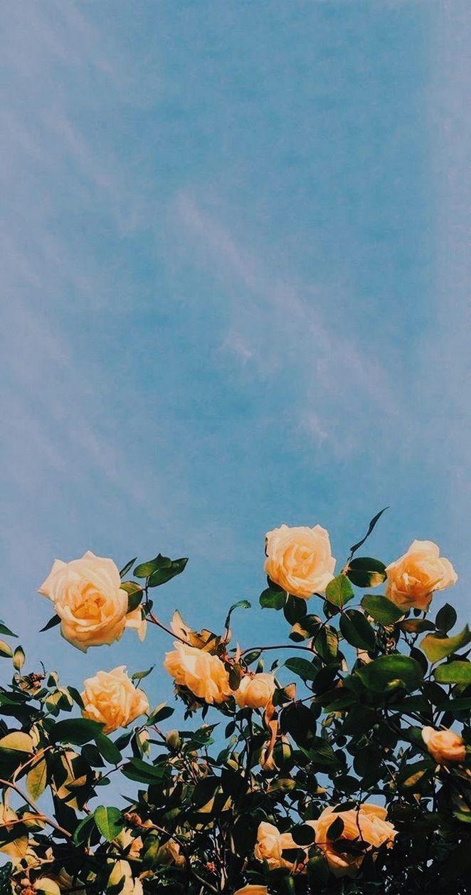 Blush roses iPhone wallpaper