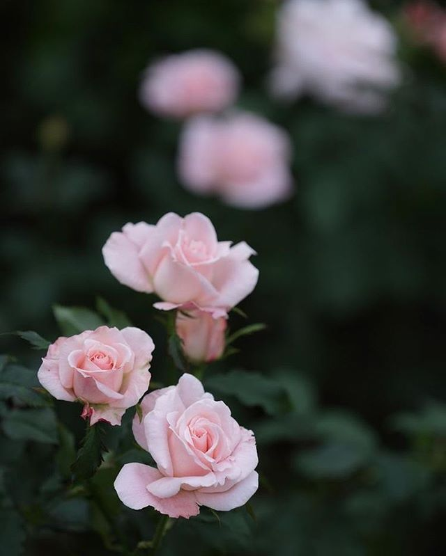 Very pretty blush roses