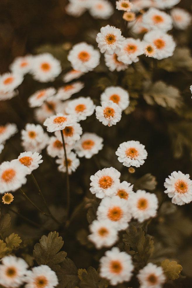Beautiful wild white daisy iphone wallpaper