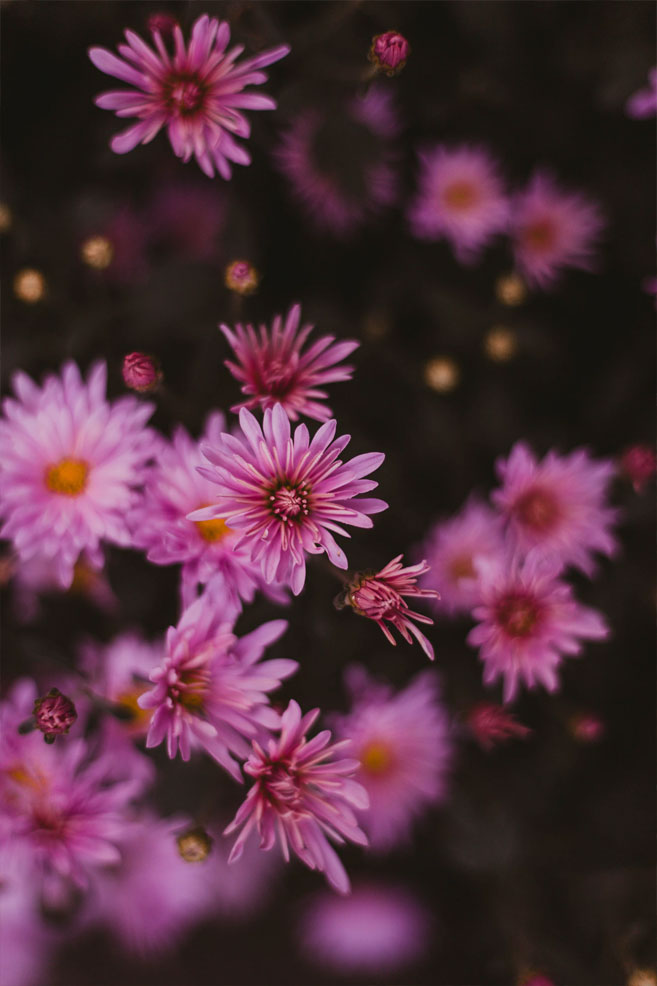 Wild pink daisy iphone wallpaper