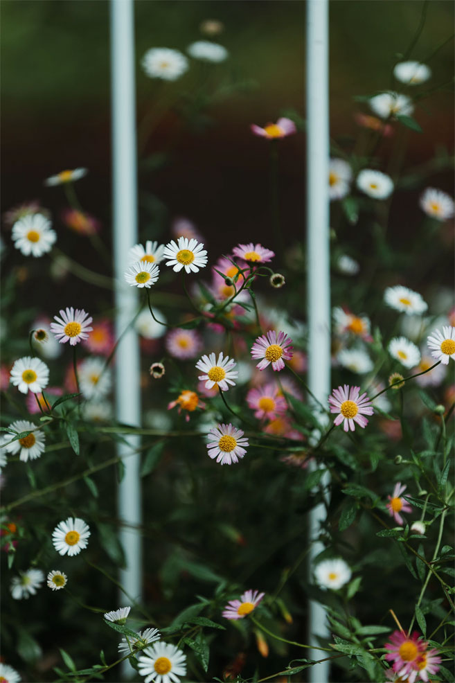 Wild white daisy iphone wallpaper