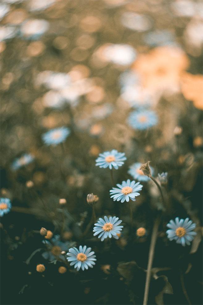 Wild blue daisies