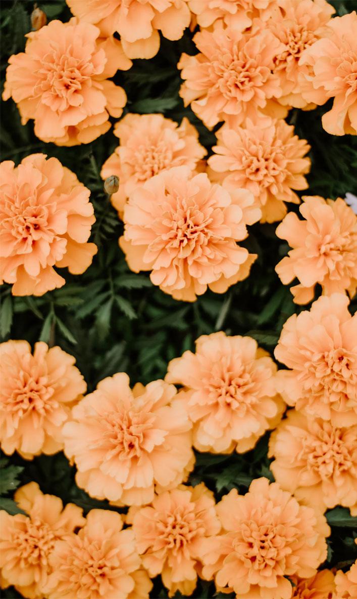 Orange peach summer flowers