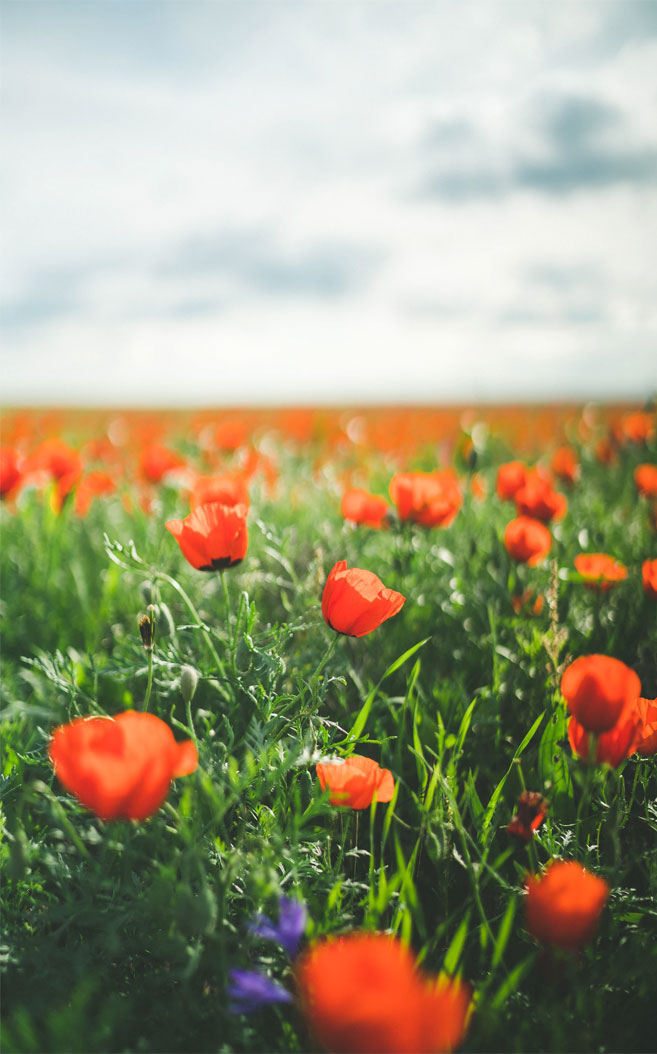 Amazing poppy field