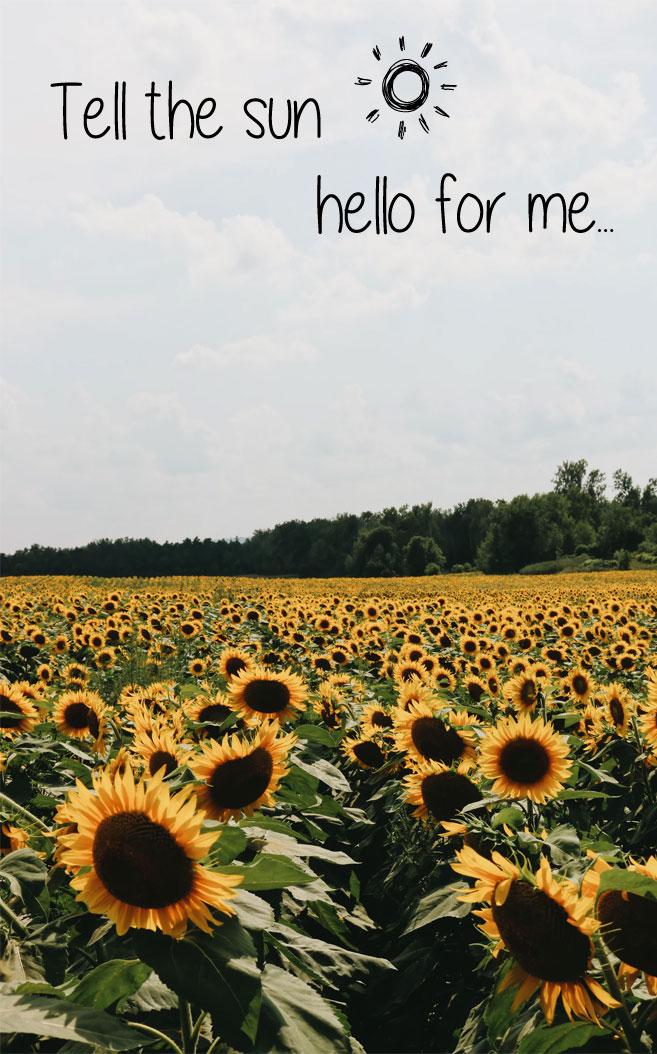 Dear Sunflowers! Tell the sun…hello for me