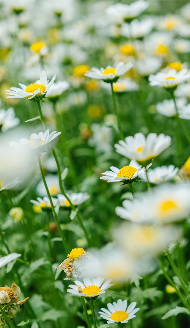 Daisies, wild flowers