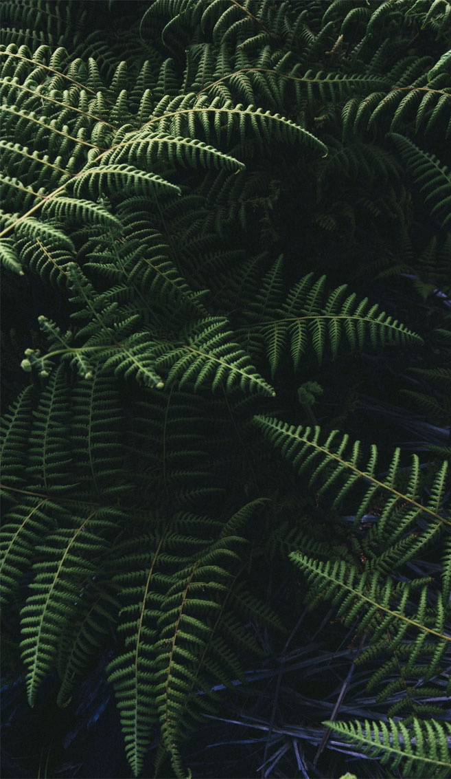 Beautiful green fern leaves
