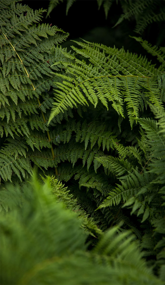 Beautiful shades of green on fern leaves