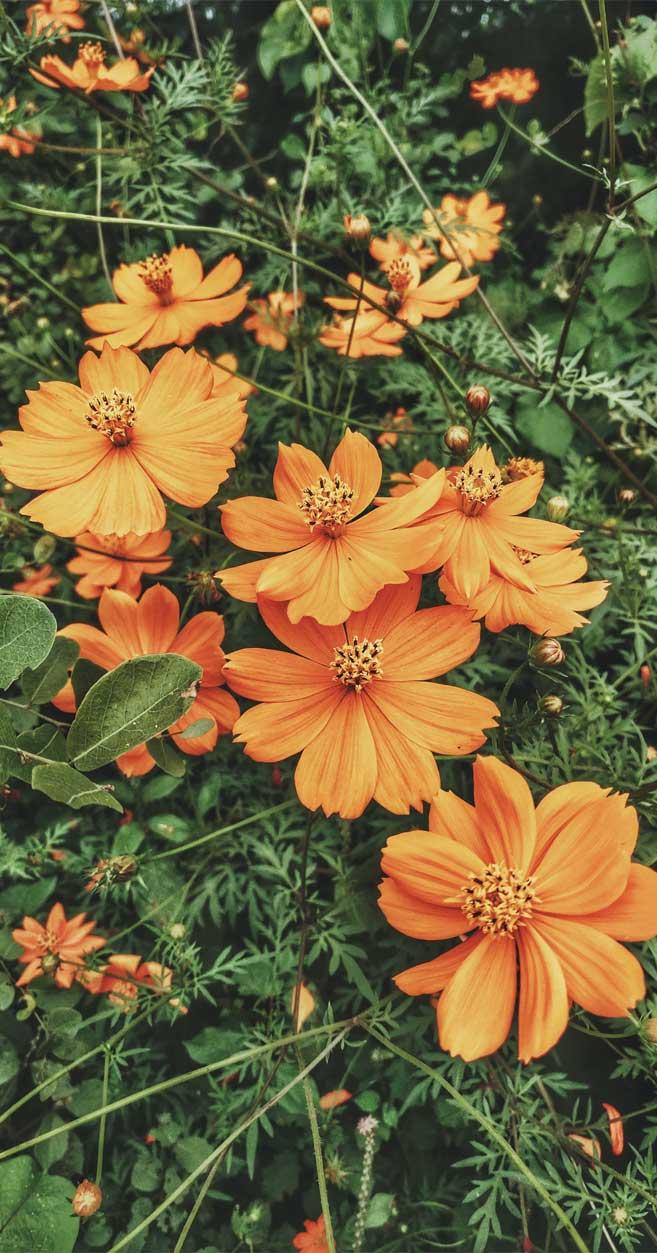 Marigold wild daisies