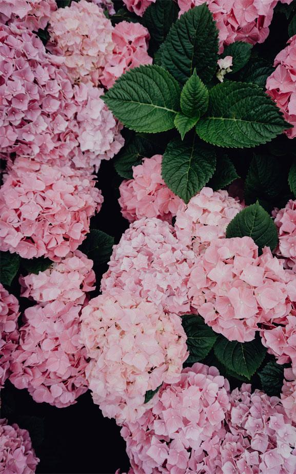 Beautiful hydrangea in pink