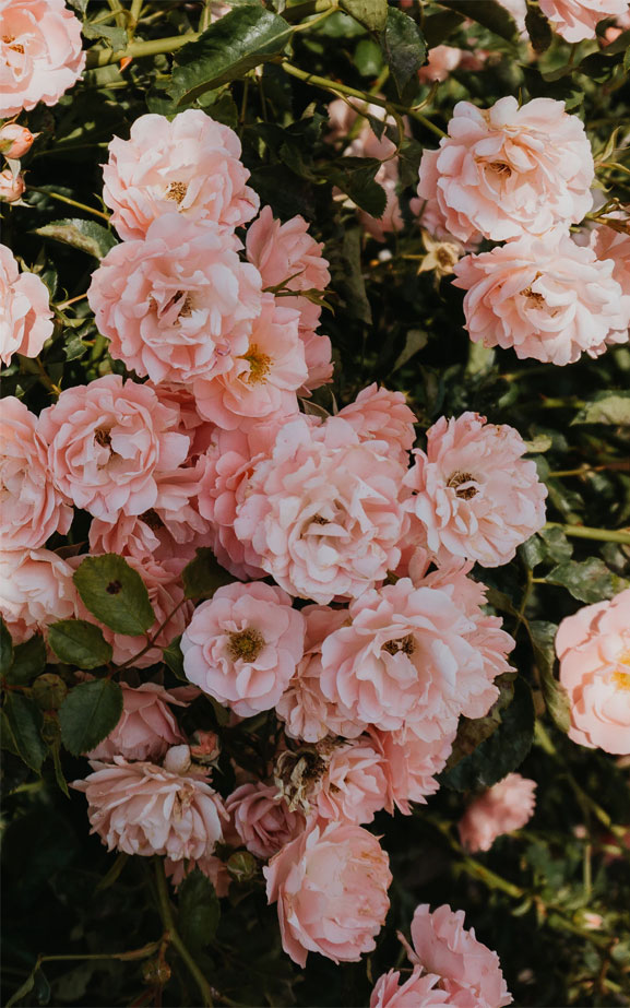 Beautiful roses in pink