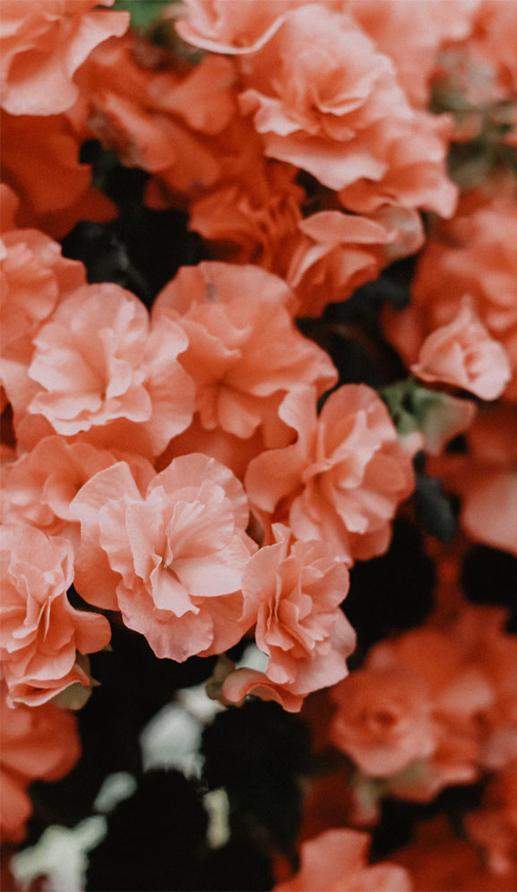 Beautiful flower in peach color