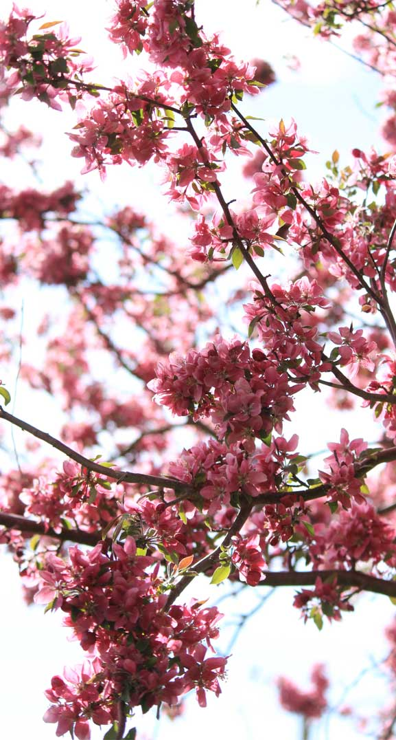 42 Pretty Blossom IPhone Wallpapers – Page 15