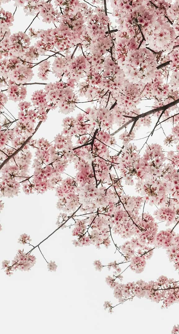 42 Pretty Blossom IPhone Wallpapers – Page 13