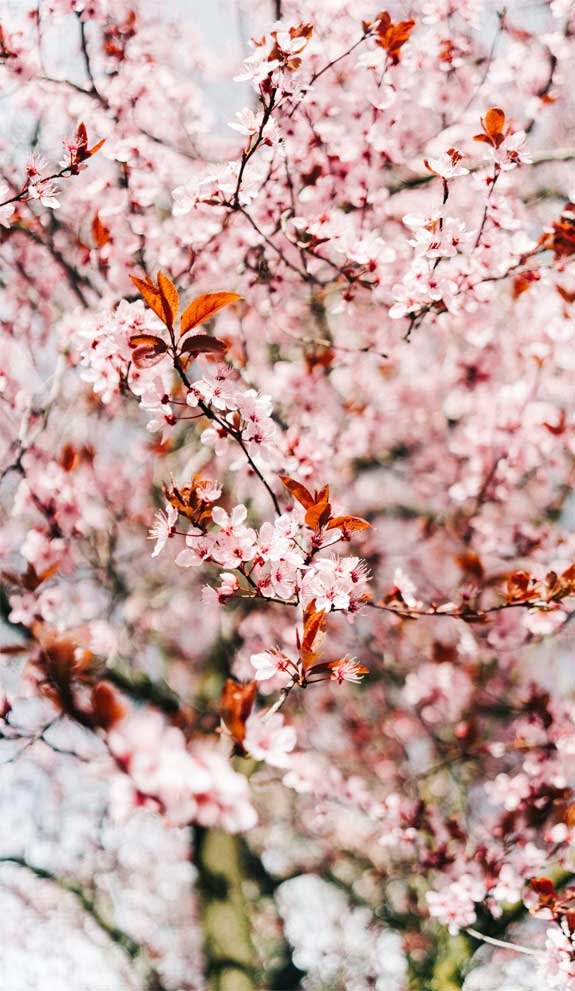 42 Pretty Blossom IPhone Wallpapers – Page 17