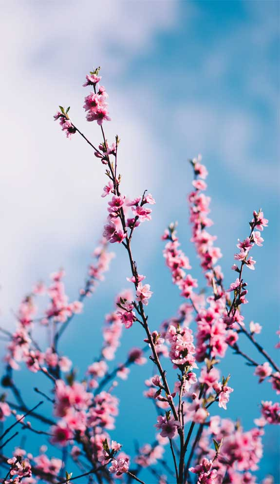 42 Pretty Blossom IPhone Wallpapers – Page 18