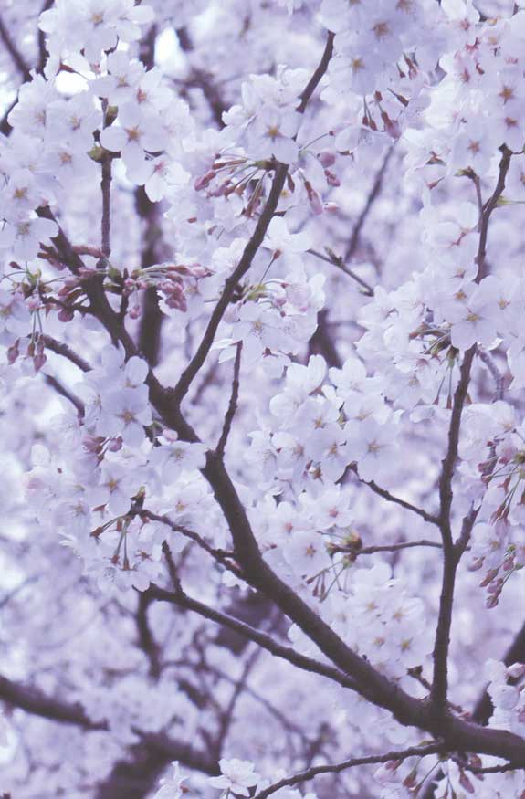 42 Pretty Blossom IPhone Wallpapers – Page 22