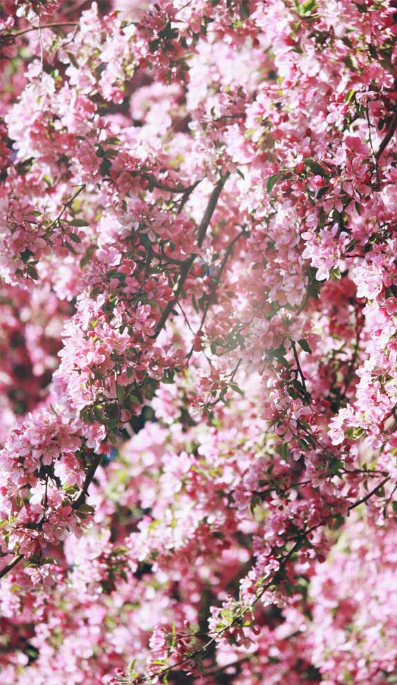 42 Pretty Blossom IPhone Wallpapers – Page 25