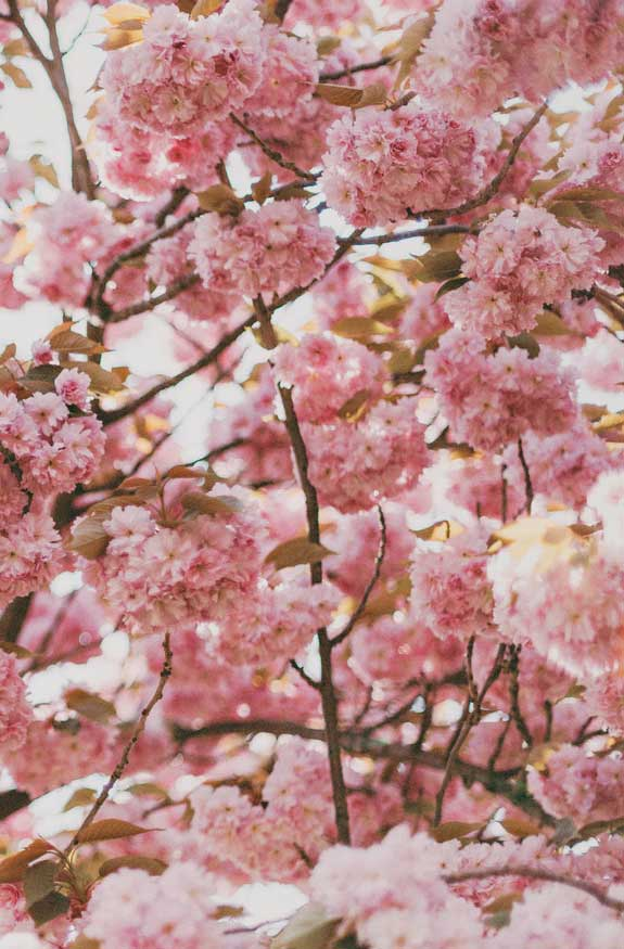 42 Pretty Blossom IPhone Wallpapers – Page 26