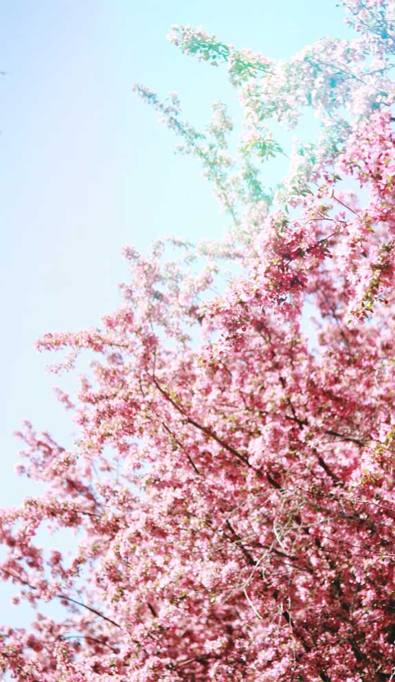 42 Pretty Blossom IPhone Wallpapers – 27