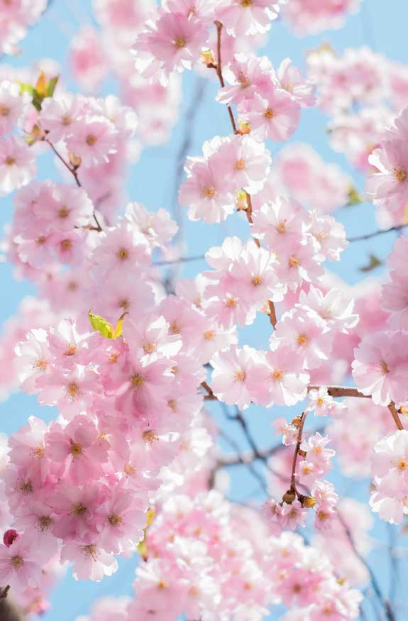 42 Pretty Blossom IPhone Wallpapers – 28
