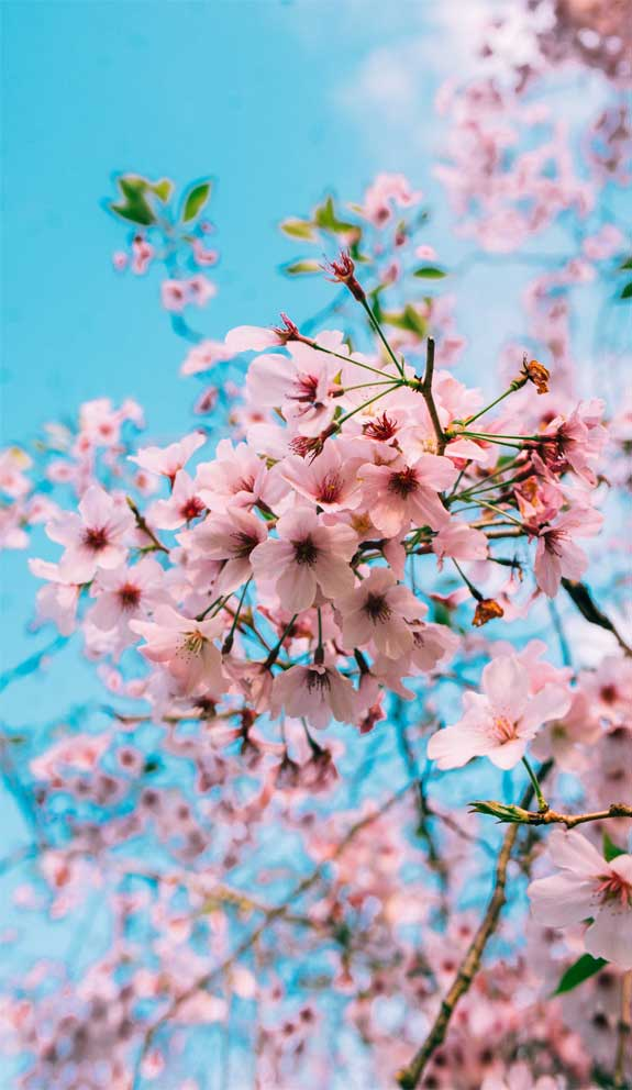 42 Pretty Blossom IPhone Wallpapers – 30