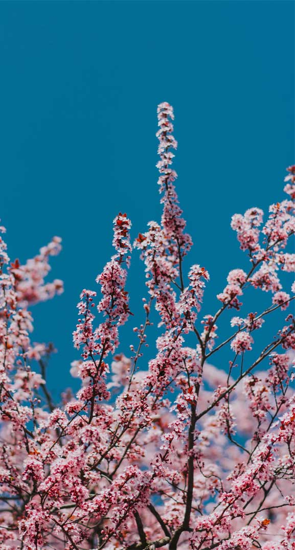 42 Pretty Blossom IPhone Wallpapers