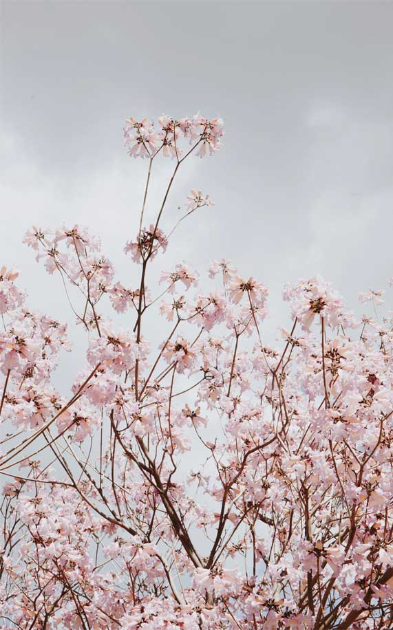 Pale pink flowers under cloudy sky