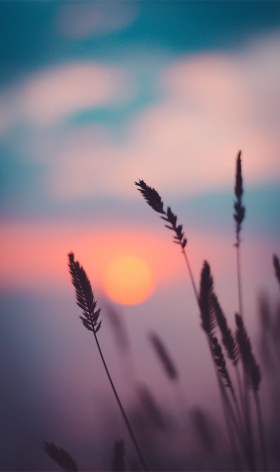 Silhouette of wheat and Sunset