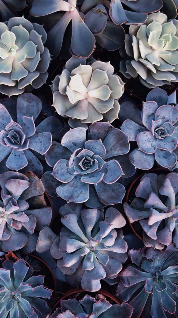 Succulent Iphone Wallpaper