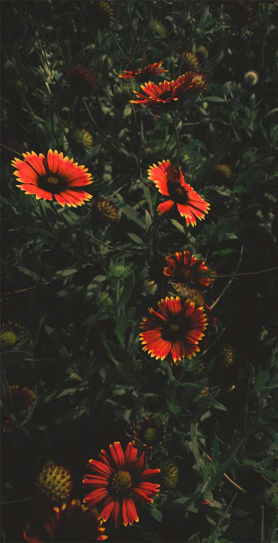 Wild Flower Iphone Wallpaper