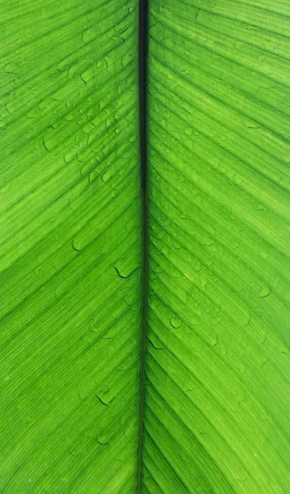 Banana Leaf Iphone Wallpaper