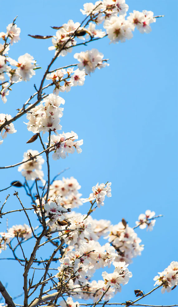 Pretty blossom blooms contrast blue sky