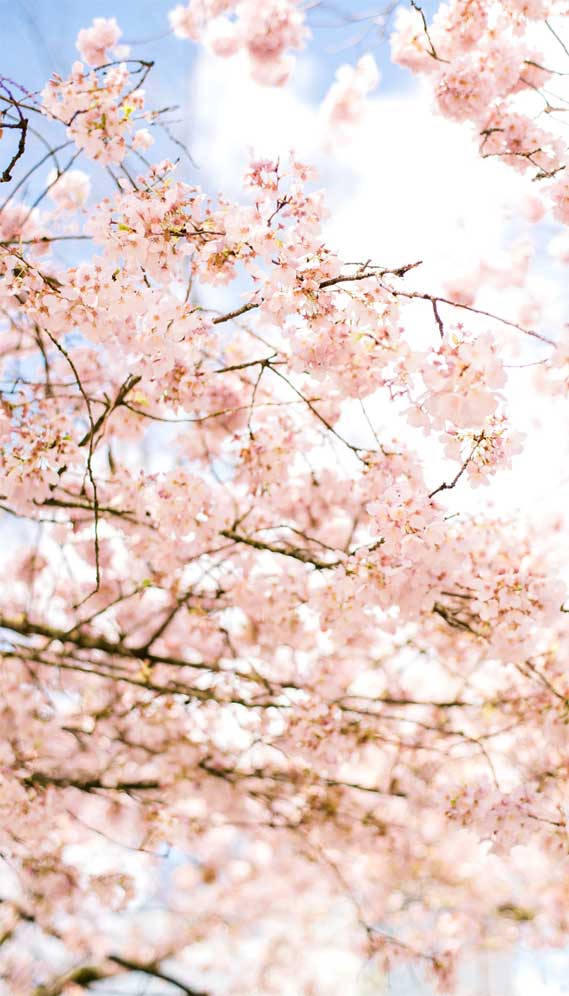 Pretty Cherry Blossom Iphone Wallpaper