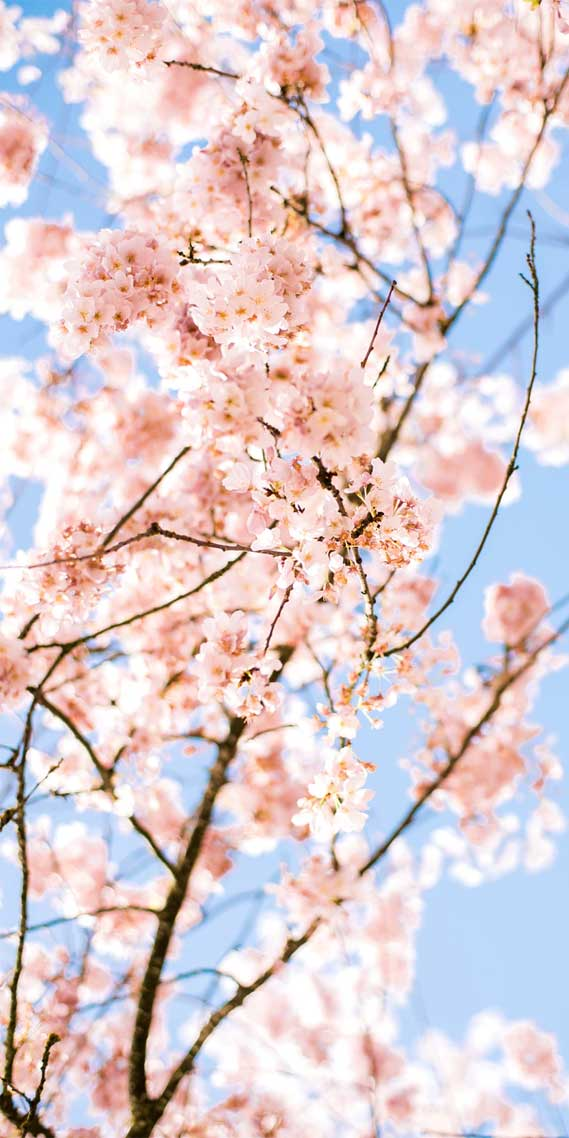 Very pretty blossom iphone lockscreen