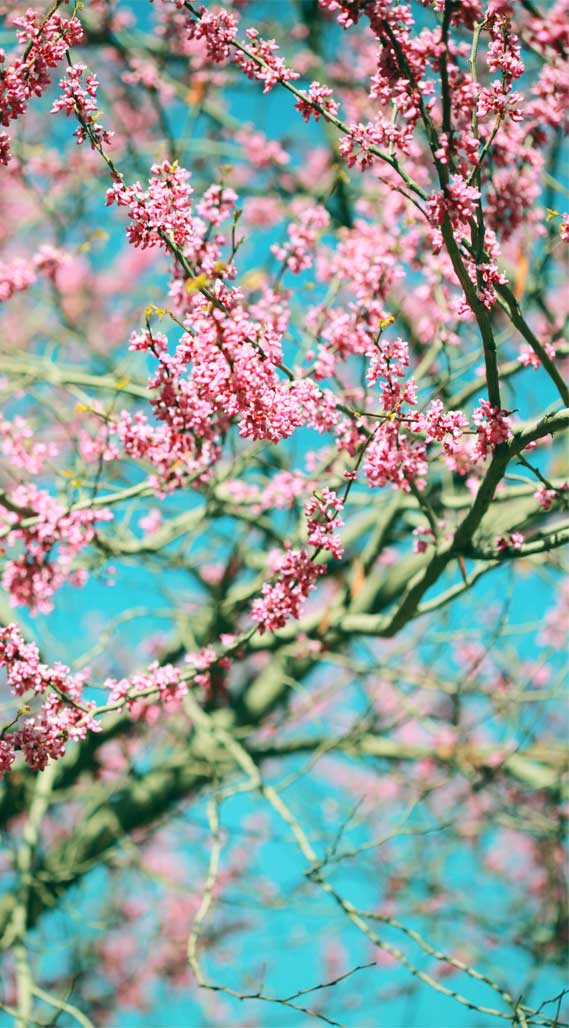 Cheery Blossom iphone wallpaper