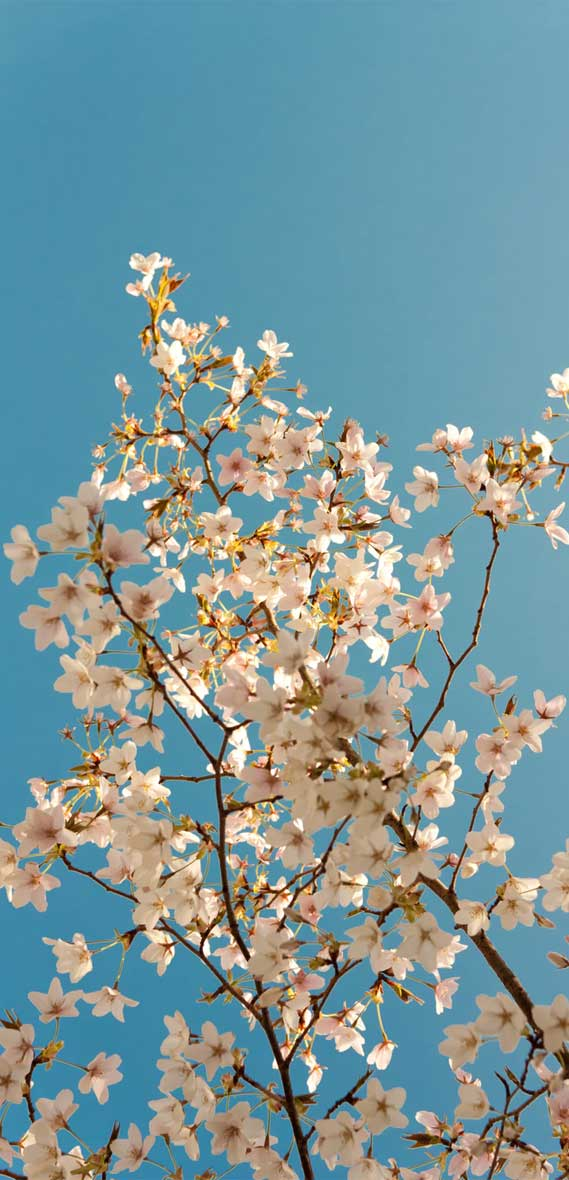 White blossom tree under blue sky