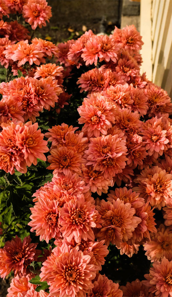 Burnt orange chrysanthemum flowers