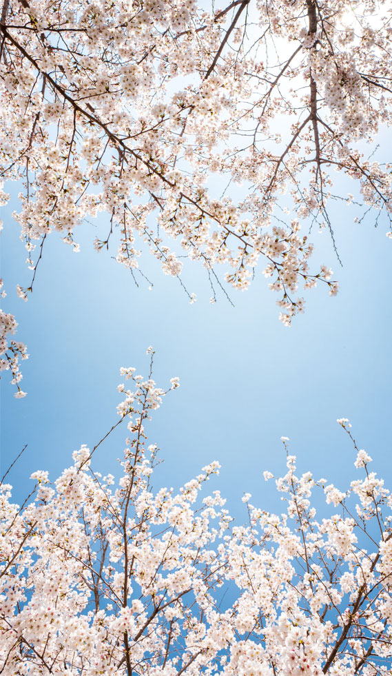 Cherry blossom – iphone wallpaper