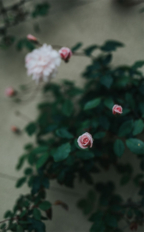 Pretty Roses – Wallpaper Iphone