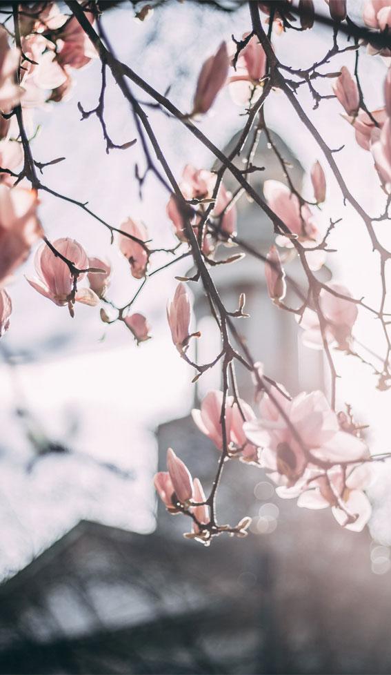 Pink Magnolia in bloom